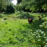 gezelschap van kippen en elke dag verse eieren